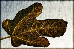 Vintage fig leaf Royalty Free Stock Photography