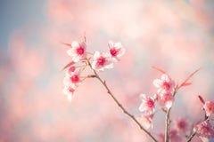 Vintage fillter of Sakura cherry blossom Stock Photos