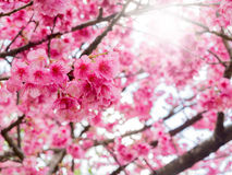Vintage filtered of cherry Blossom. With sun light Stock Photos