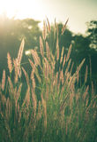 Vintage filtered of flowering grass. Royalty Free Stock Image