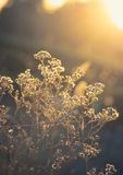 Vintage filtered of flowering grass. Stock Photography