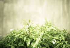 Vintage filtered : Green leaf bush and small white flower at con Royalty Free Stock Photo