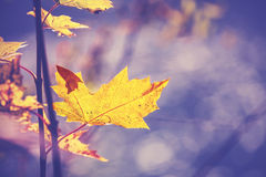 Vintage filtered picture of autumn leaf, nature background. Stock Photos