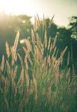 Vintage filtrado da grama de florescência Imagem de Stock Royalty Free