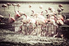 Vintage Flamingos on lake in Andes, the southern part of Bolivia Stock Images