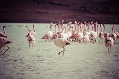 Vintage Flamingos on lake in Andes, the southern part of Bolivia Stock Photo
