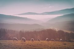 Vintage flock of sheep royalty free stock image