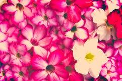Vintage floral background. Vintage frangipani  flower for background Royalty Free Stock Photos