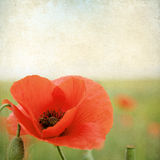 Vintage floral background with poppy flowers on a brown backgrou Stock Image