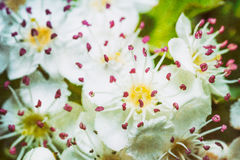 Vintage flower background. Wild cherry blossoms macro, with vintage postcard style Royalty Free Stock Image