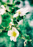 Vintage flower background. Wild tea-roses soft background with textured postcard style Stock Photo