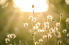Vintage flower grass in relax morning time Stock Image