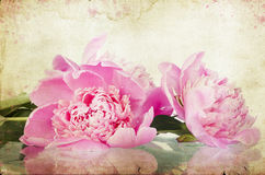 Vintage flower (peony) Royalty Free Stock Photo