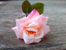 One gentle rose on wood. Pink white soft fragrant flower Royalty Free Stock Images