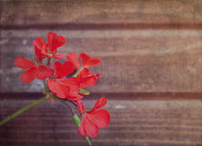 Vintage flowers. Geranium flowers on the background of wooden wall. Grunge and retro style Stock Photos