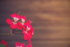 Vintage flowers. Geranium flowers on the background of wooden wall. Vintage style Stock Photography