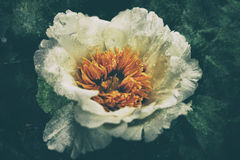 Vintage flowers. Image of vintage peony in a summer garden Stock Photo