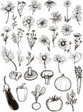 Vintage Flowers & Vegetables. This is a collections of detailed vintage flowers, herb and vegetables, finely designed for the most elegant illustrations, wedding Royalty Free Stock Images