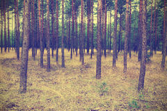 Vintage forest background. Autumn in forest, vintage look Royalty Free Stock Photo