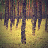 Vintage forest background. Autumn in forest, vintage look Royalty Free Stock Images