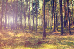 Vintage forest background. Autumn in forest, vintage look Stock Image