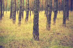 Vintage forest background. Autumn in forest, vintage look Stock Photography