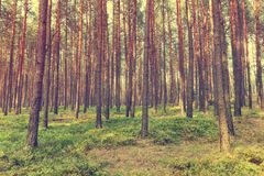 Vintage forest background. Autumn in forest, vintage look Stock Images