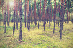 Vintage forest background Royalty Free Stock Photo