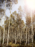 Vintage forest background, birches retro filtered Royalty Free Stock Images
