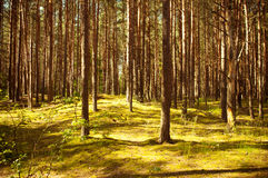 Vintage forest Royalty Free Stock Images