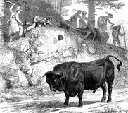 Funny hicking, a bull blocking the road, vintage engraving. Vintage fun: a menacing bull blocks the path,  the hikers find an alternative way to bypass the Royalty Free Stock Photo