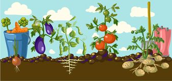 Vintage garden banner with root veggies Royalty Free Stock Images