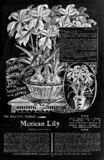 Vintage Garden Mexican Lily Flower Vector Illustration In Black And White Stock Photo