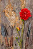 Vintage garden tools. And red dahlia on wooden surface royalty free stock photo