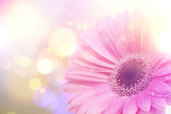 Vintage Gerbera daisy background Stock Images