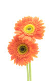 Vintage gerbera flowers isolated on white background Stock Photo