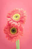 Vintage gerbera flowers  on pink background Stock Photography
