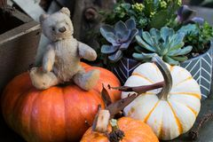 Vintage German teddybear in the middle of pumpkins that are ready for Halloween. royalty free stock photo