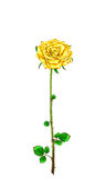Vintage golden rose with stem and leaves on a white background.V Royalty Free Stock Photos