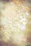 Vintage grape background Royalty Free Stock Photography