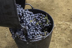 Vintage grapes Royalty Free Stock Photography
