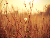 Vintage grass. And flower Royalty Free Stock Photography