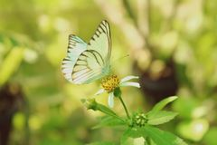 Vintage, Green butterfly is sucking nectar. On the back green leaves.  stock photography