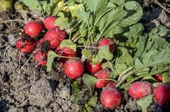 Vintage green and red radish stock images