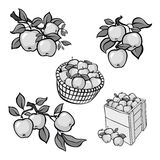 Vintage grey apple harvest set. Fully editable EPS10 vector. Royalty Free Stock Photo