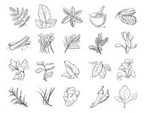Vintage hand drawn herbs and spices, sketch drawing plants vector collection. Nature ingredient herbs, organic botanical aroma herbs illustration Stock Image