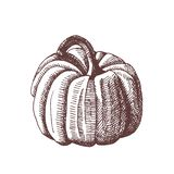 Vintage hand drawn illustration of autumn element. Botanical illustration. Pumpkin. vector illustration