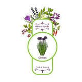 Vintage herbs and spices label collection. Chives. Hand drawn vector illustration Stock Photo