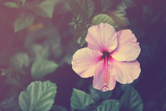 Vintage hibiscus flower close up Stock Photos