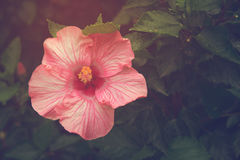 Vintage hibiscus flower with sunlight Royalty Free Stock Image